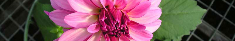 dahlia-pink