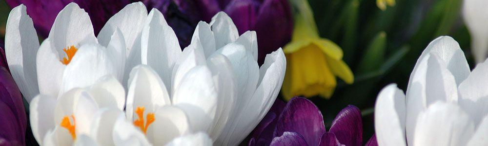 slider-crocus-daffodil