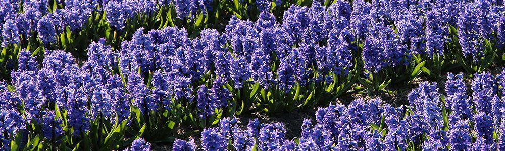 slider-hyacinths
