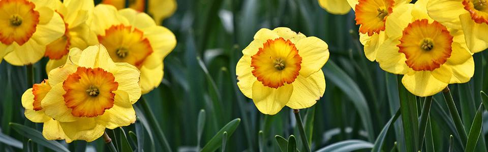 slider-daffodils