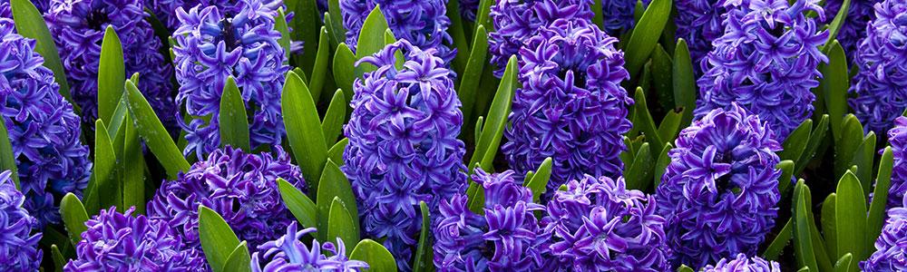 slider-hyacinth