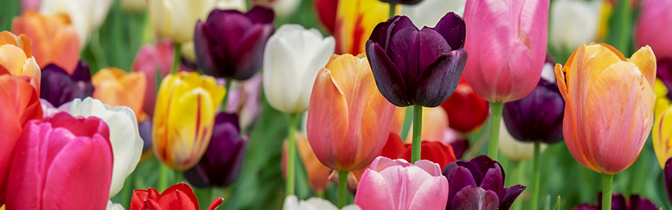 slider-tulips