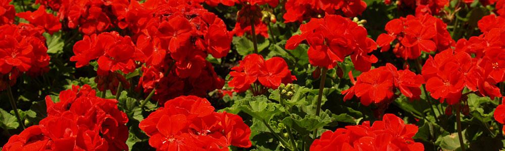 slider-geraniums