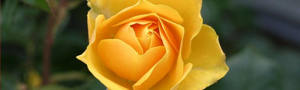 slider-rose